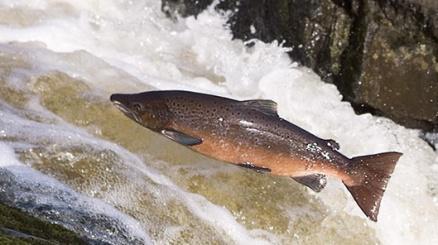 details_salmon